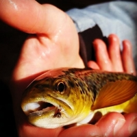 Trout Fly Fishing for Wild Browns with guide Kevin Moriarty at Top Water Trips