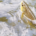 Top Water Trips Spring Creek Fly Fishing with Top Water Trips