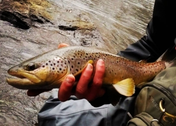 Wild Brown Trout during Fly Fishing trip on the little schuylkill witht top water trips